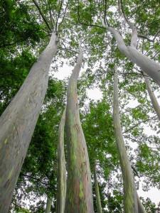 Painted Eucalyptus trees in the rain forest, Maui, Hawaii, USA.