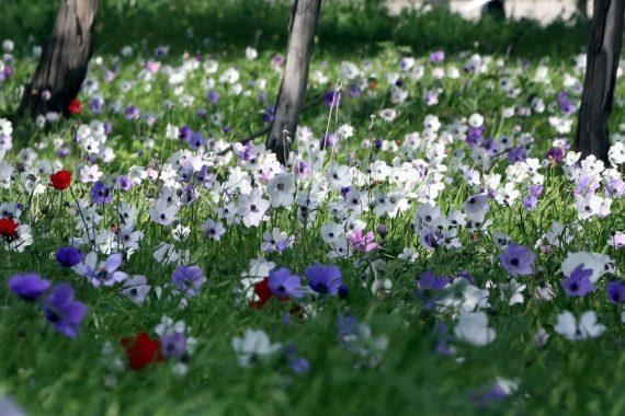 Где недалеко от Нетании увидеть цветение Анемонов?