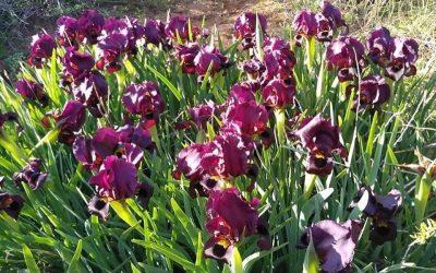 Ирисы цветут. Экскурсия от муниципалитета.