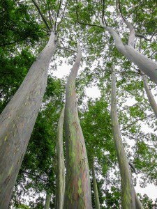 Painted Eucalyptus trees in the rain forest, Maui, Hawaii, USA.